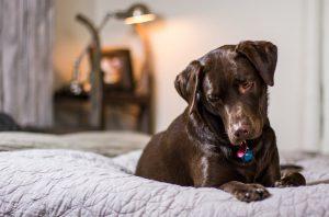 duża rasa psa w domu